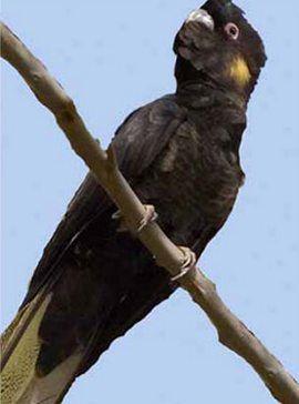 Вороновие або траурні какадурод calyptorhynchus