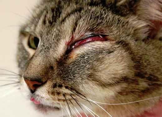Запалення очей у кішки.