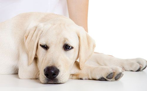 Цистит у собаки