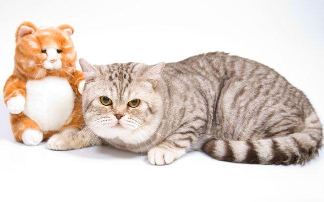 Виховання британської кішки