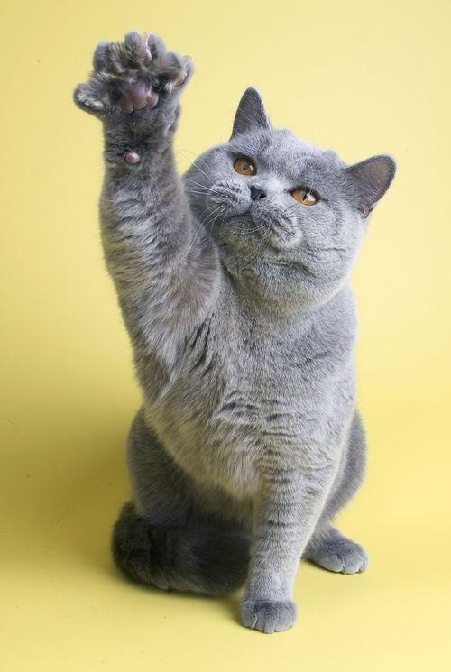 Виховання британських кішок