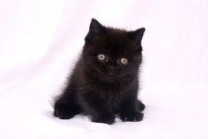 Виховання британського кошеня