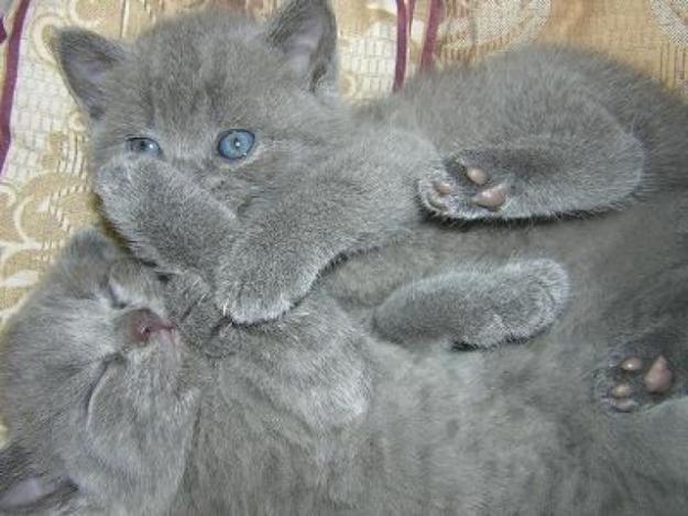 Виховання британських кошенят