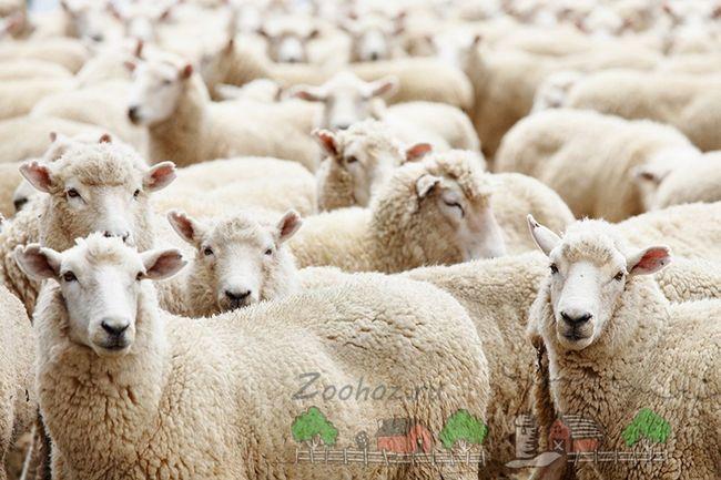 Чи відродиться в білорусі розведення овець?