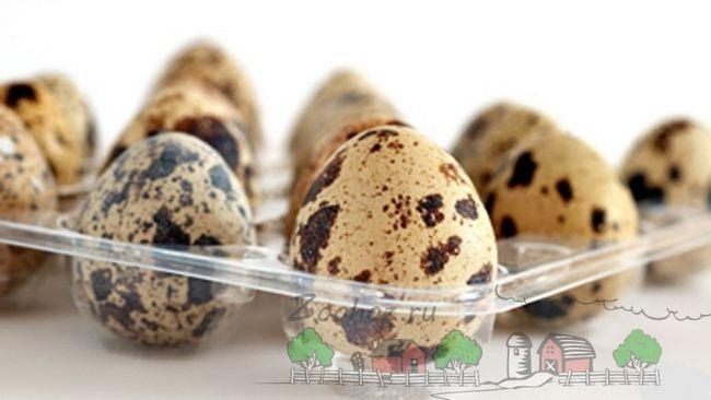 Всі аспекти інкубації яєць перепелиці