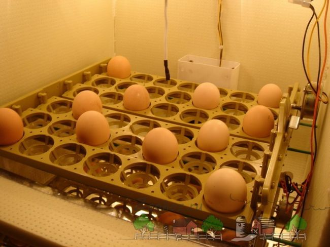 Яйця на автоматичних лотках фото
