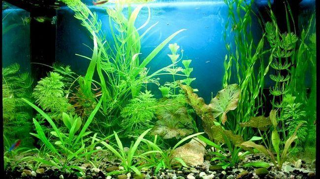 Все, що потрібно знати початківцю акваріумісти про акваріумних рослинах