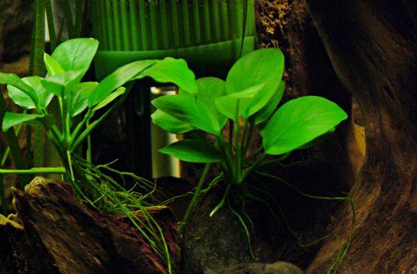 акваріумні растеніе3