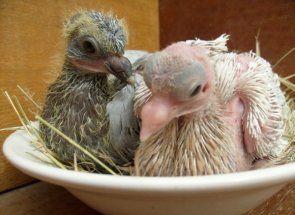 Все, що ви хотіли знати про пташенят голубів