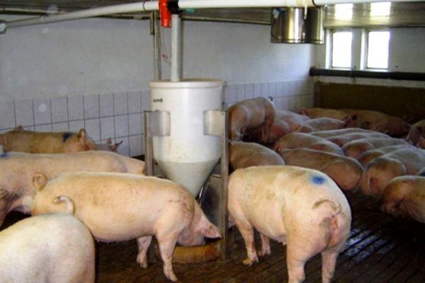 Автогодівниці для годування свиней