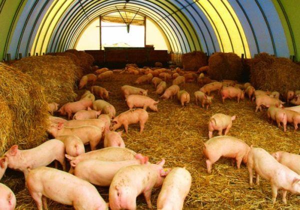 Розведення свиней на фермі