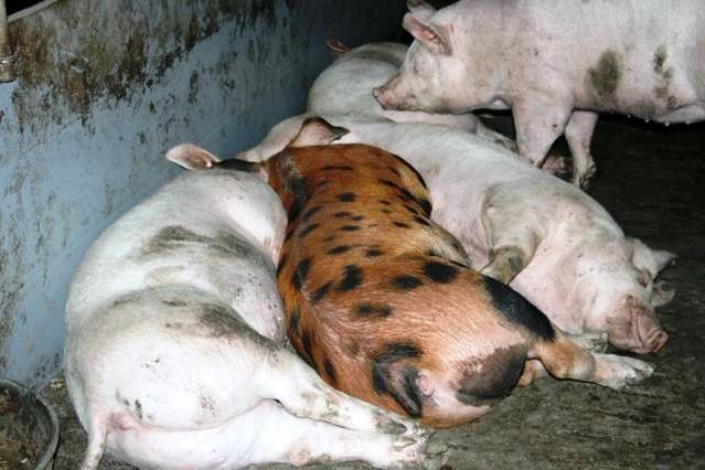 Зміст свиней різних порід разом