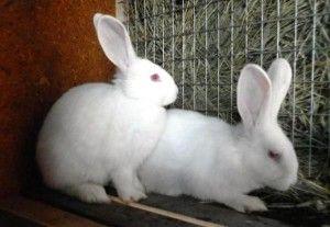 Всі нюанси кастрації кроликів