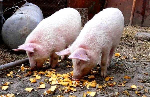 Усе про домашній розведенні свиней