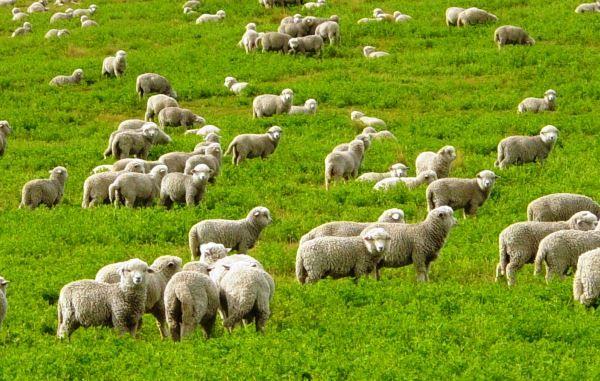 Все про грамотне утриманні овець
