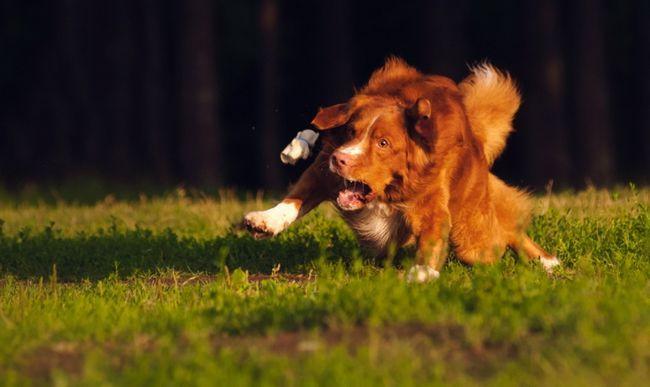 Новошотландський Ретривер біжить по траві