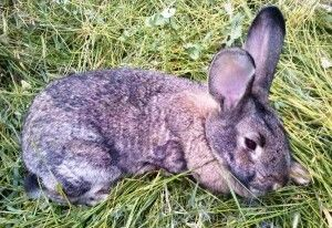 Все про кокцидіоз кроликів: симптоми, лікування, як уникнути захворювання