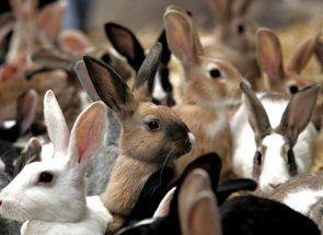 Все про м`ясних кроликах - породи, утримання і догляд, а також ази їх розведення