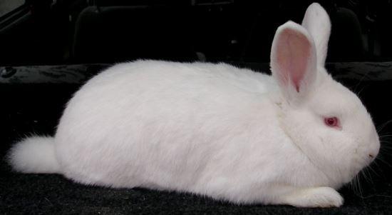 Новозеландський білий кролик