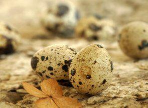 Все про користь і шкоду перепелиних яєць