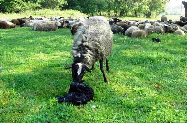 Все про процес ягнения овець