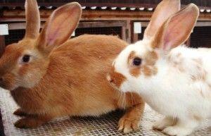 Все про процес розмноження у кроликів