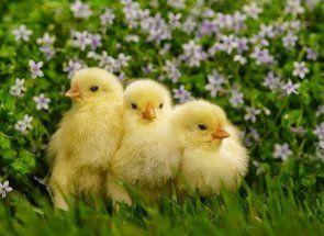 Все про прогулянки курчат і їх харчуванні зеленню кропиви