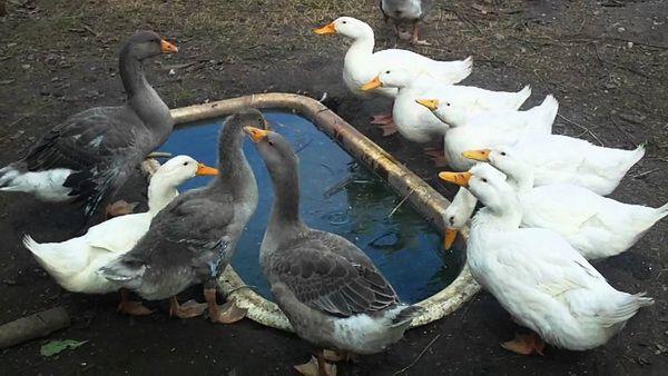 Гуси і качки біля ванночки з водою