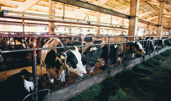 Все про способи утримання корів