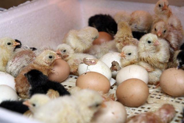 Що вилупилися курчата в інкубаторі
