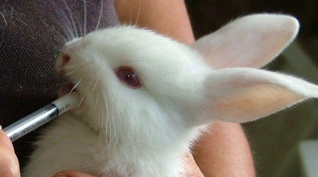 Кролик їсть молочну суміш
