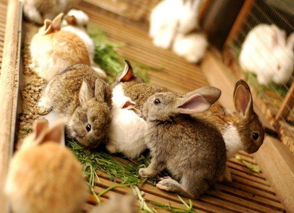 Кроленята на дорослому раціоні