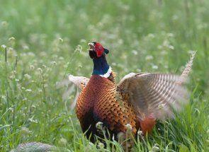 Все про одомашненої птиці з яскравим оперенням - фазанів звичайному
