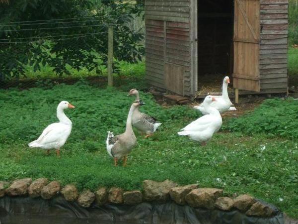 Птахи гуляють на подвір`ї
