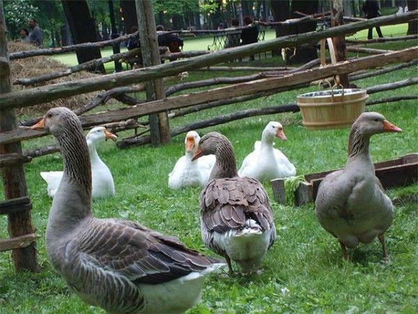 Гуси гуляють в загоні