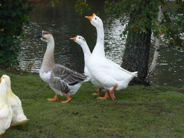 Породисті гуси на прогулянці