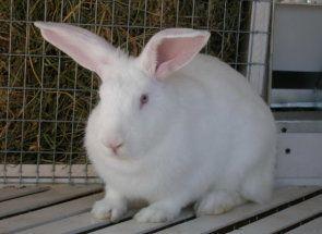 Все, що потрібно знати про тривалість життя кроликів