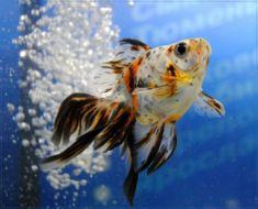 Вуалехвост - сама невибаглива золота рибка