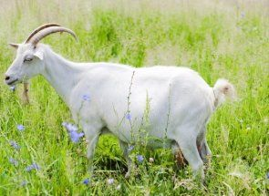 Вибираємо козу молочної породи