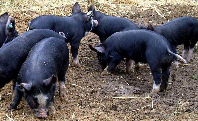 кемеровські свинки