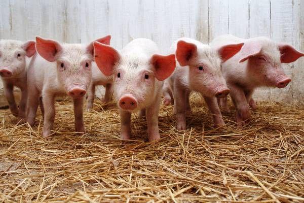 Вибір і застосування преміксів для свиней