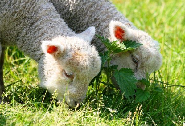 Вигодовуємо ягняти без вівці
