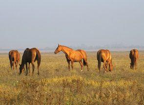 Витривала красуня з глибини козацьких степів - донська кінь