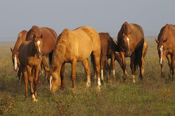 Табун рудих коней