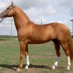 Донський кінь в полі