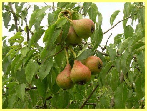 Вирощування груш як бізнес