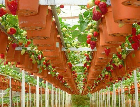 Вирощування полуниці як бізнес