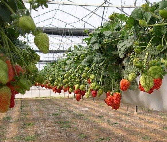 Вирощування полуниці в теплиці круглий рік бізнес план