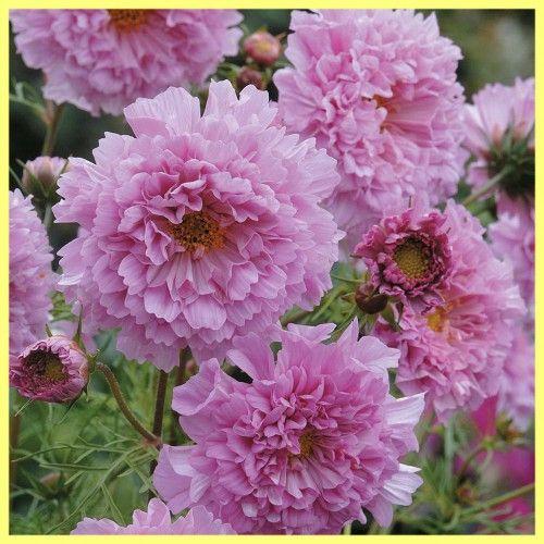 Вирощування махрової космеи: фото квітів