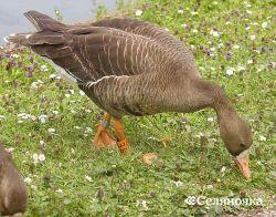 Вирощування ремонтного молодняку   гусей